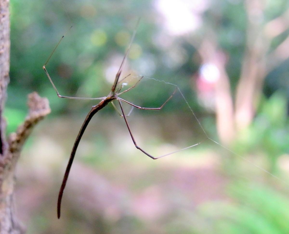 Argyrodes colubrinus