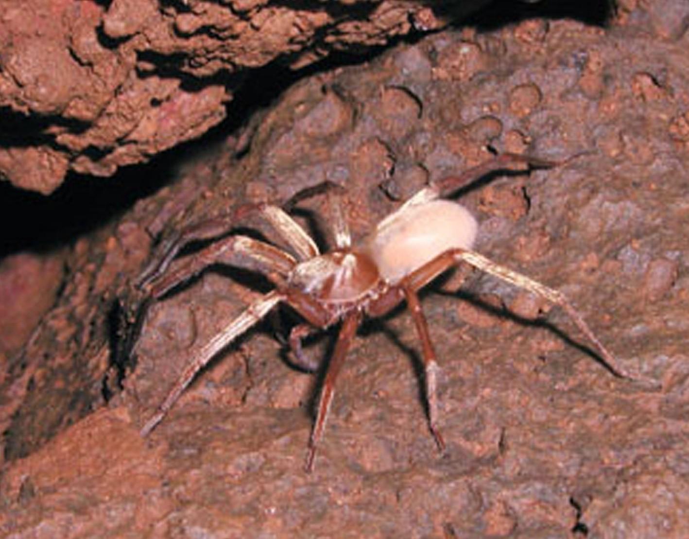 Kaua'i Cave wolf spider