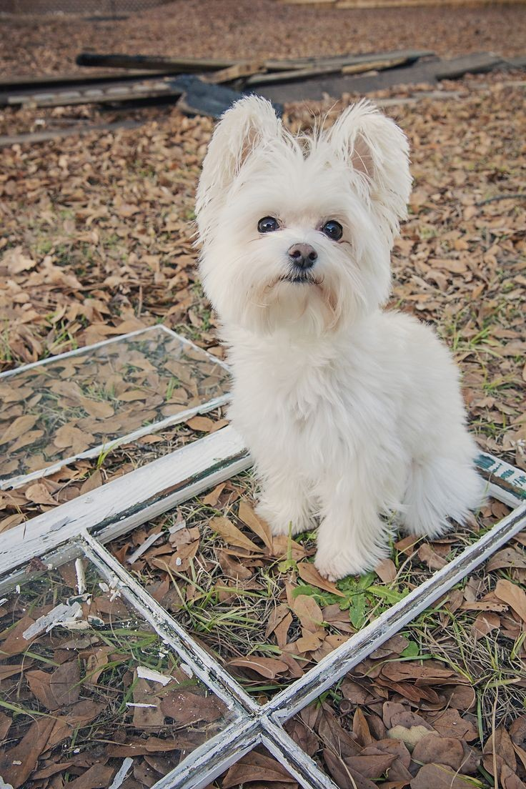 Morkies has floppy ears that may or may not stand erect as they grow up