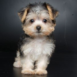 The American Kennel Club does not recognize the Yorkie Maltese Mix as an authentic breed of dog