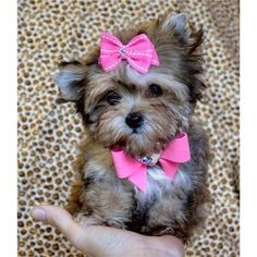 The Yorkie Maltese Mix has long and smooth hair which require daily brushing and grooming