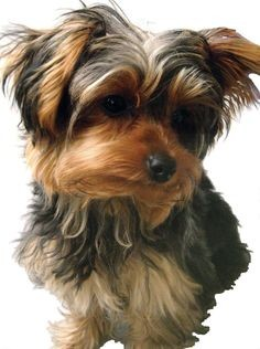 The Yorkie Maltese can be stubborn, however, they are very easy to train